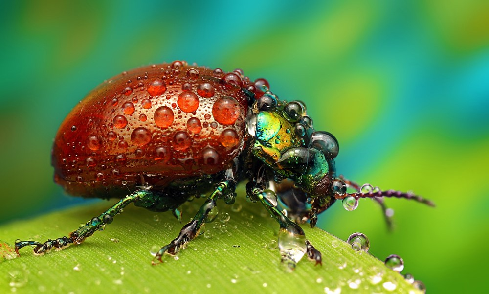 Red-beetle