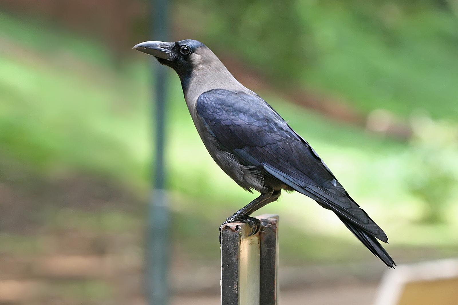 House_crow | Bird Control