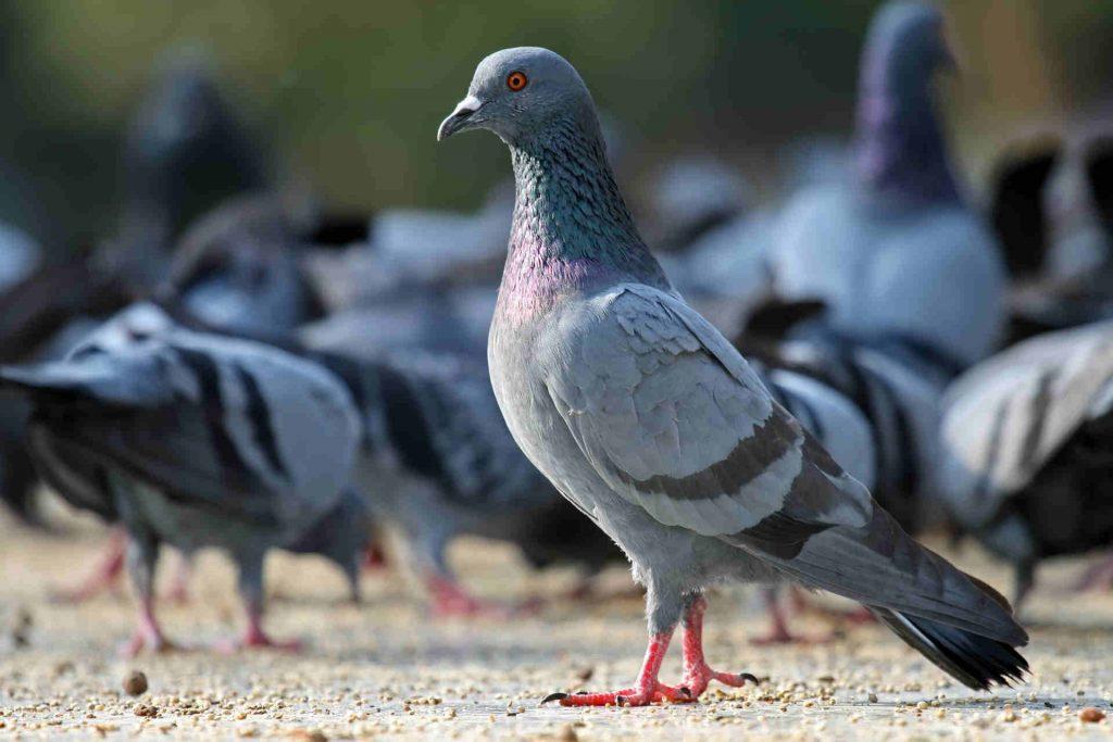Pigeon-bird